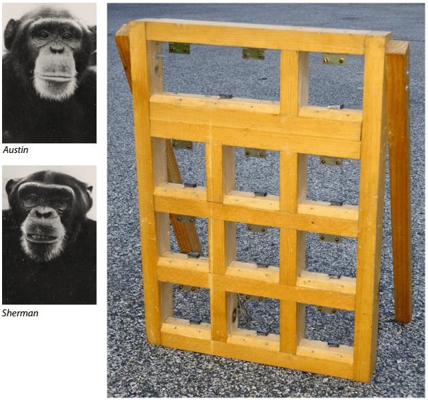 Остин и Шерман - шимпанзе, которые помогли Орану