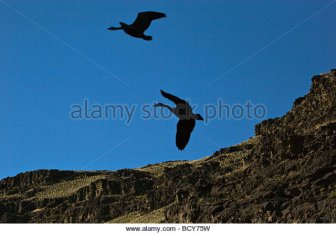 canadian-geese-fly-along-the-wild-and-scenic-owyhee-bcy75w