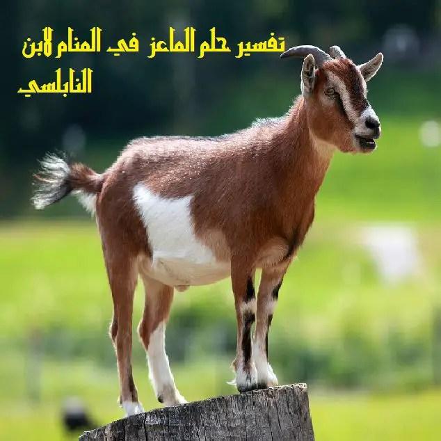 تفسير رؤية الماعز في المنام لابن سيرين والنابلسي موقع مصري