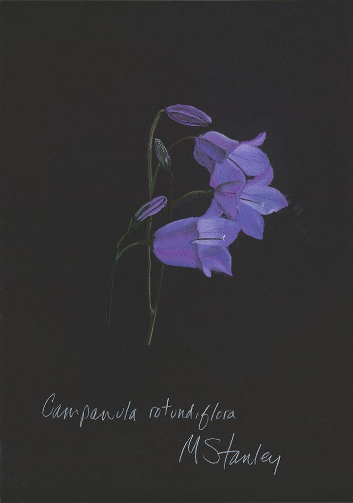 Campanula rotundiflora