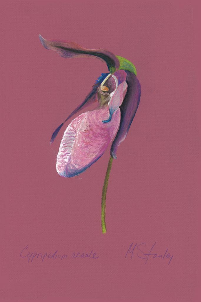 Cypripedium acaule