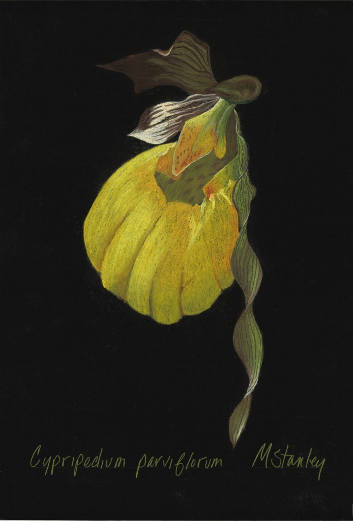 Cypripedium parviflorum