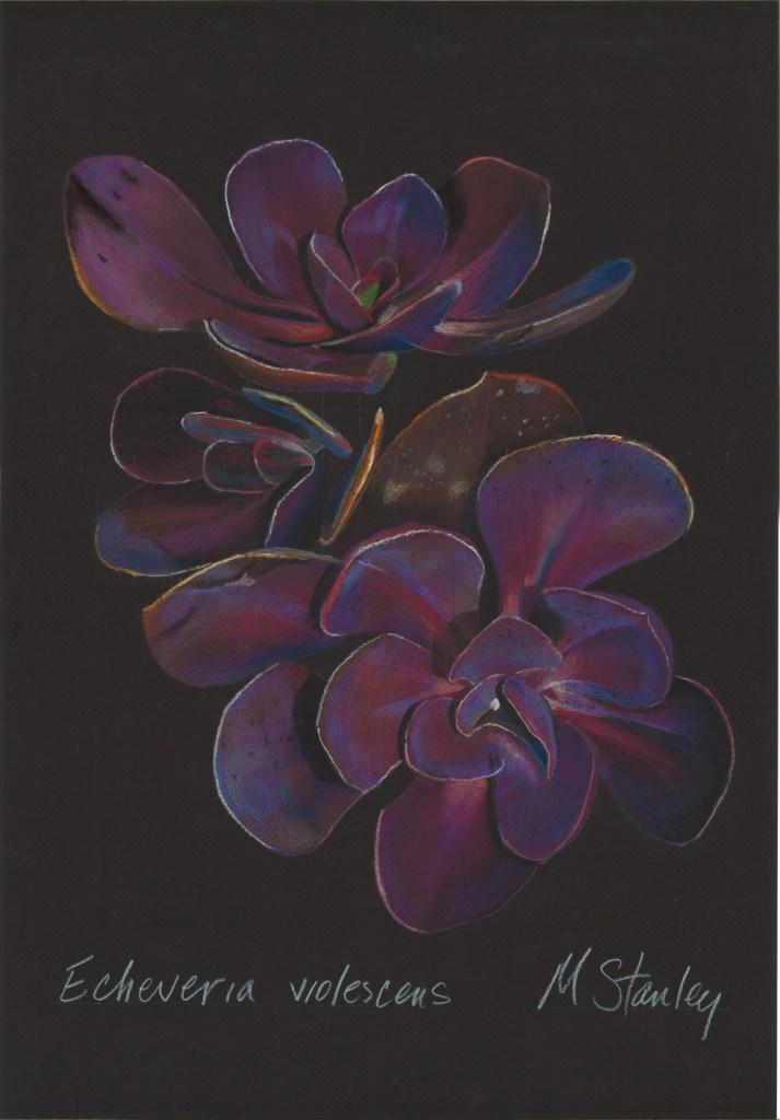 Echeveria violescens