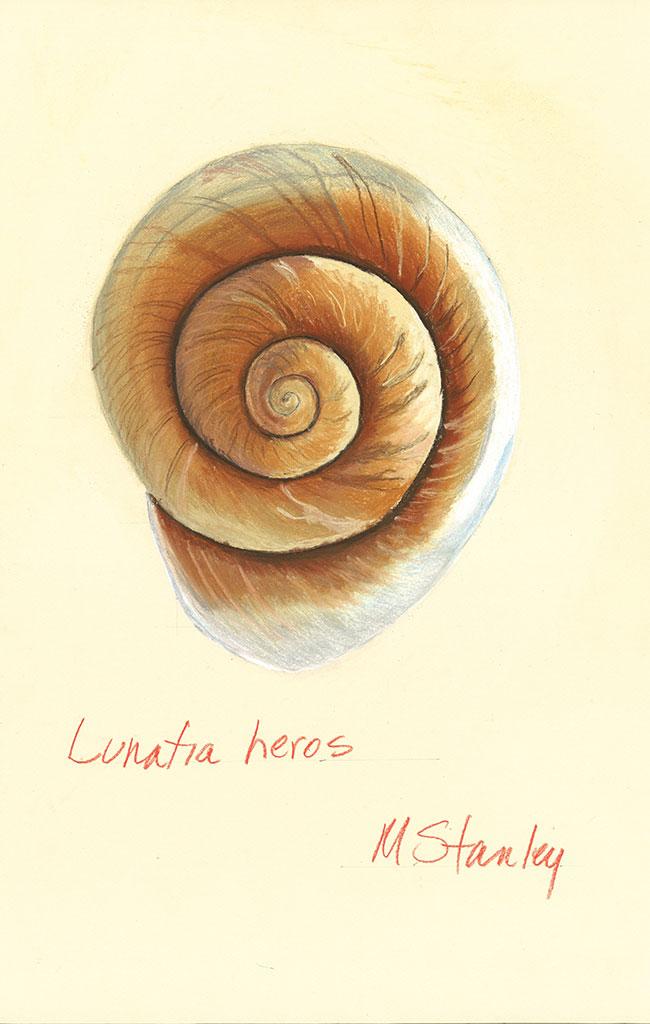 Lunatia heros