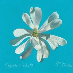 Magnolia stellata2