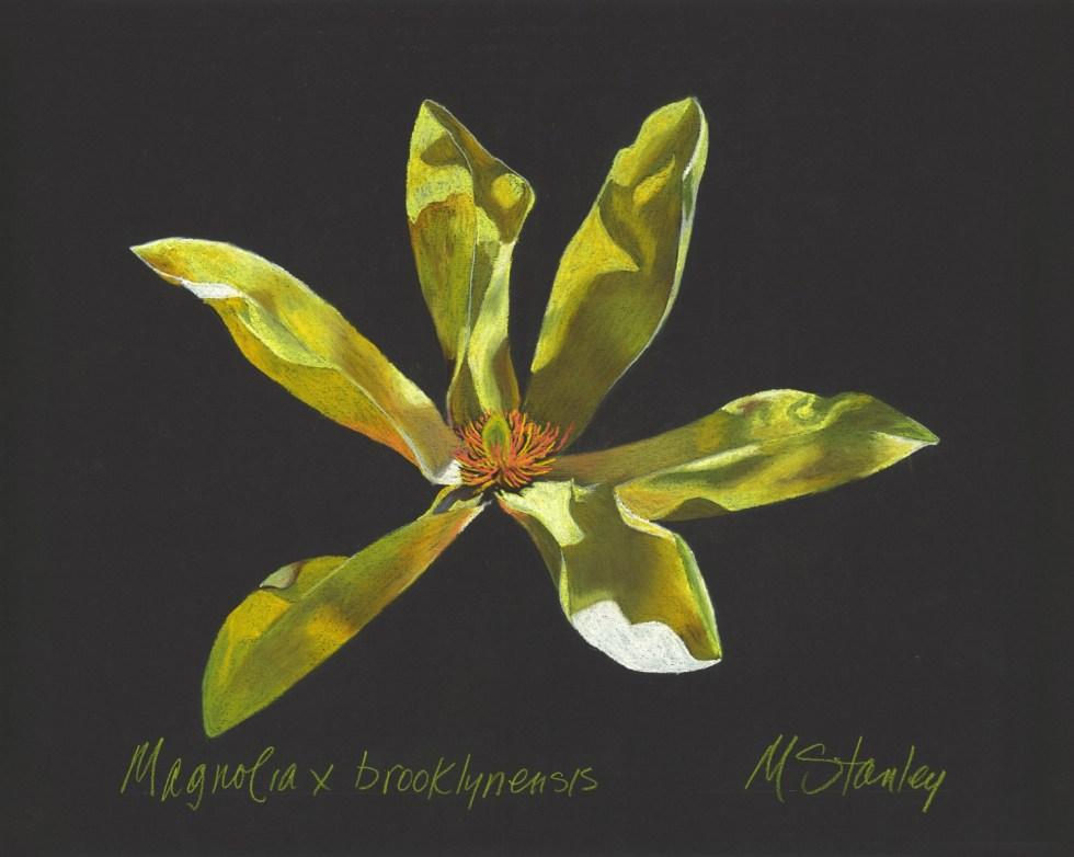 Magnolia x brooklynensis