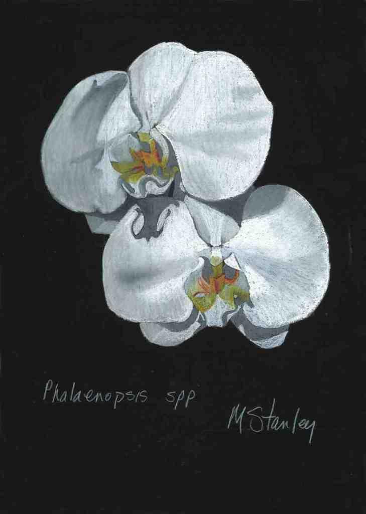 Phalaenopsis spp