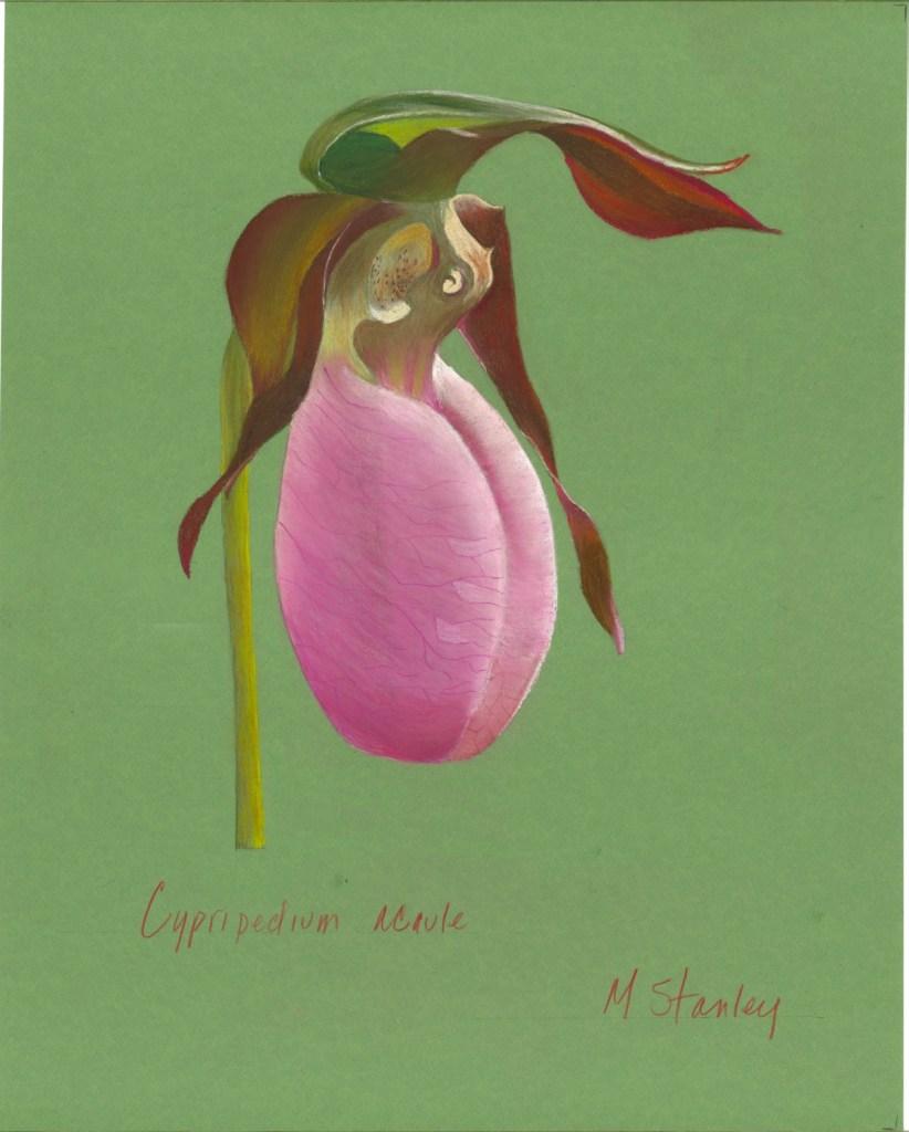 cypripedium acaule 1
