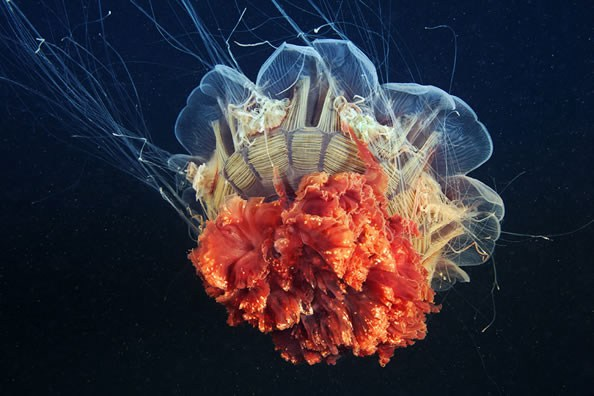 Jellyfish-photography-finle-16