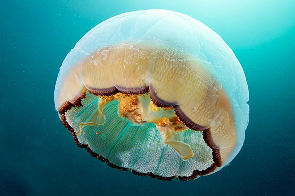 Jellyfish-photography-finle-17