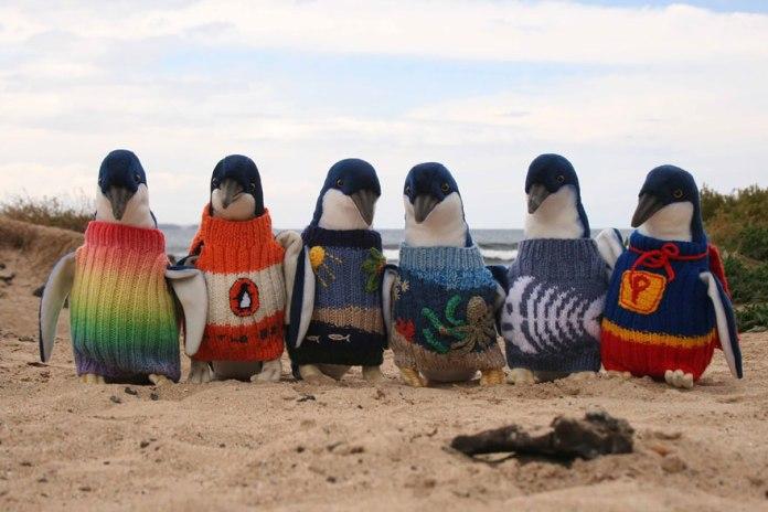 澳大利亞老人針織毛衣幫助瀕危的小企鵝