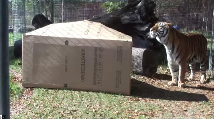 動物園管理員把一個紙箱子丟到兇猛的「大貓咪」籠子裡,結果…反應居然跟小貓咪一樣!