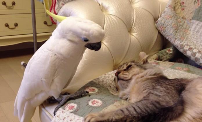 【找抽系列】借我摸一下...好奇鸚鵡偷摸貓咪全都錄!