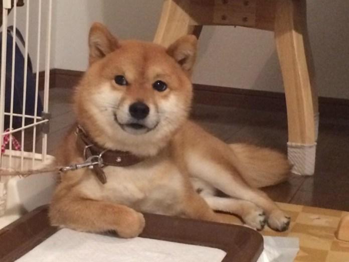 日本網友買了新的尿墊給柴犬後,牠的表情實在是太囂張了!