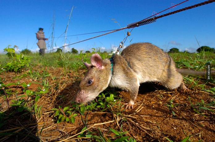 HeroRATS help clear these deadly mines in Africa 01