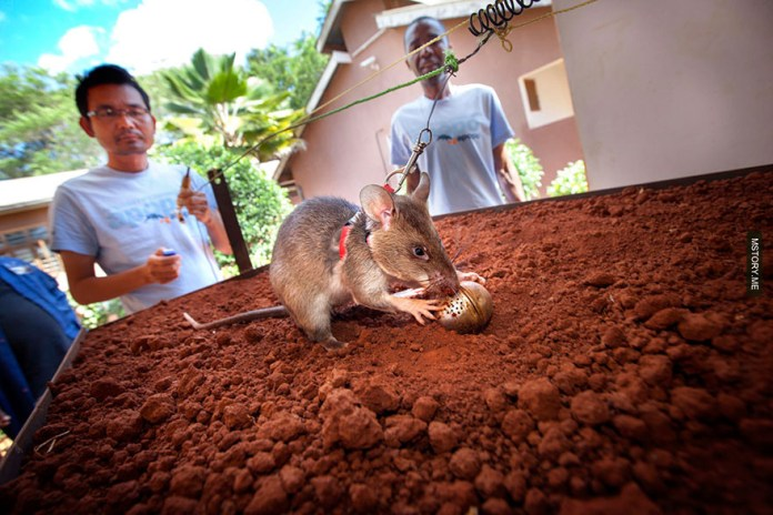 HeroRATS help clear these deadly mines in Africa 04
