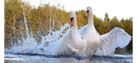 一只无辜被天鹅夫妇攻击的汪,在英国天鹅是个神物种
