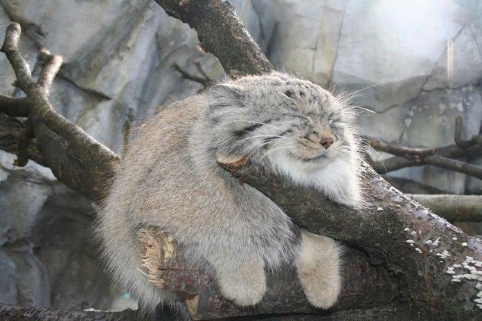 这只表情超白痴的猫猫,原来是世界上最贵的品种之一!