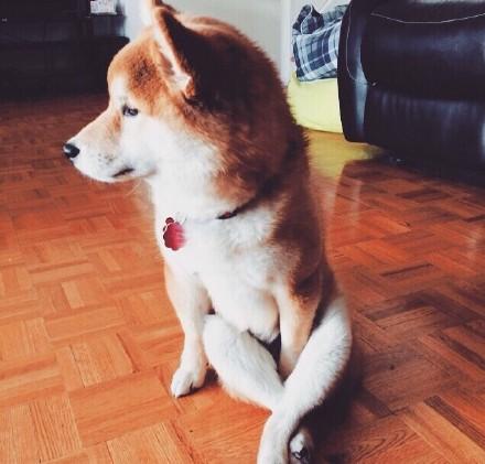 作为一只狗,你知道这样坐会引人犯罪的吗?