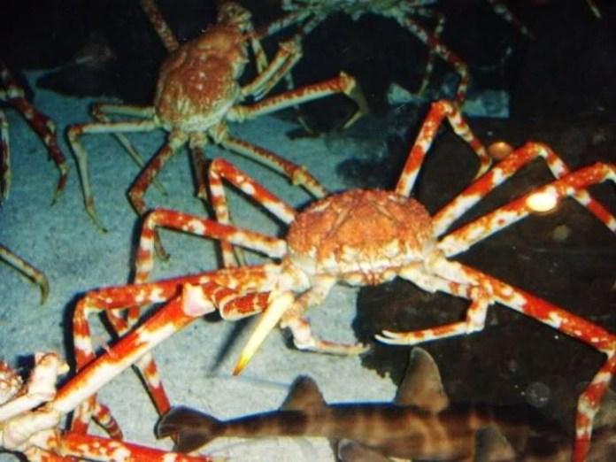 巨型殺人蟹攻擊漁民,90年至今已有60人葬身蟹腹!小心此蟹!危險!
