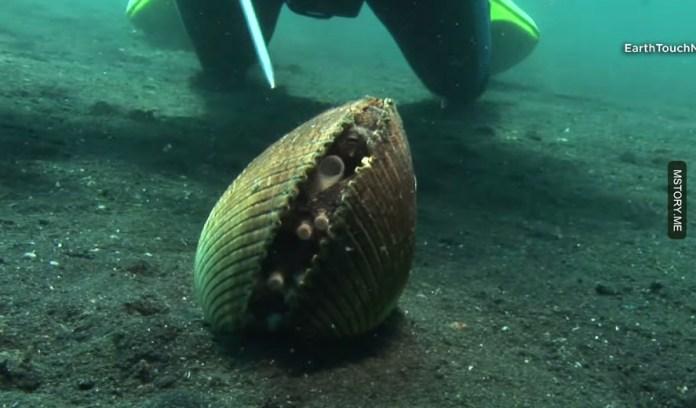 shell stealing octopus