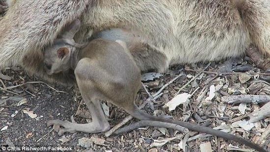 心碎!小袋鼠拼盡力氣喝被撞死母親最後一口奶