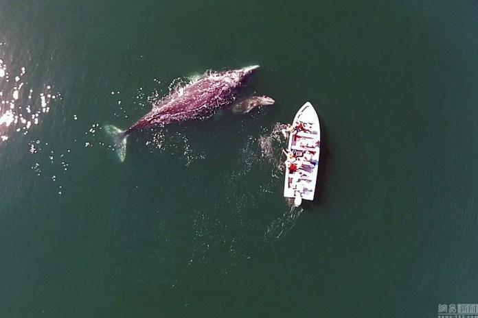 """遊客乘船偶遇灰鯨群龐大鯨魚""""主動示好"""""""