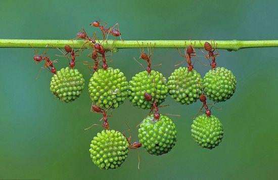 螞蟻搬運果實展現驚人團隊力量,小小的身體可以舉起比牠大3倍的東西!