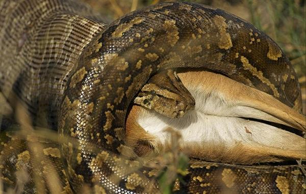 荷蘭攝影師拍下了驚悚一幕,巨蟒活吞野山羊持續24小時!
