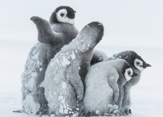 南極帝企鵝寶寶抵禦暴風雪畫面