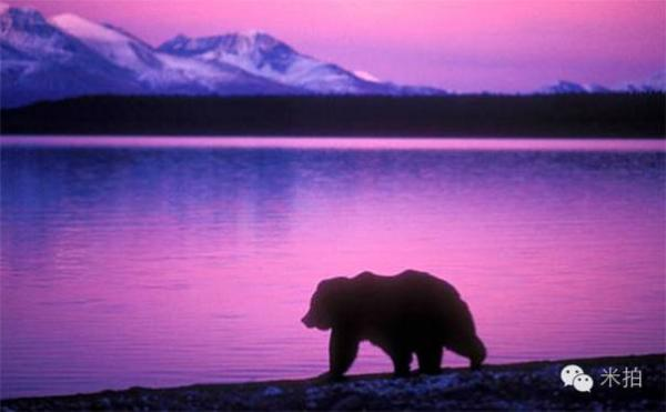攝影師悲劇的,拍了一輩子熊 最後卻被熊拍死了!