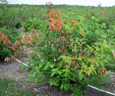 Blueberry phomopsis pruned