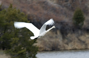 Trumpeter Swan flying2 - small