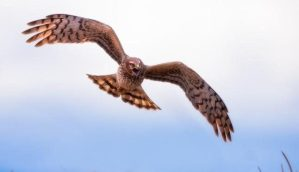 Northern Harrier by Chris Mcgowan