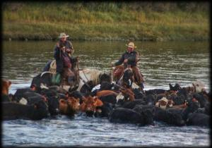 Bridger Cunningham of the T Lazy Y Ranch is bringing the cows home across the Yellowstone river south of Emigrant, Montana.