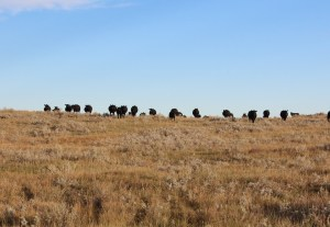 Great shots of cattle on pasture from the Nissen family!