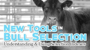 Bull Selection Tools NCBA