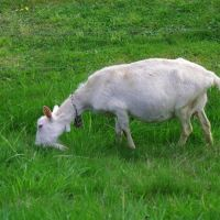 grass farming with goat milk grass fed pasture organic