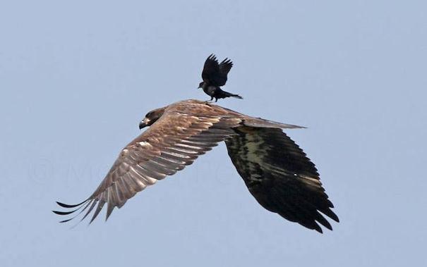 Очередная поездка на орле вороны, животные, птицы, фото