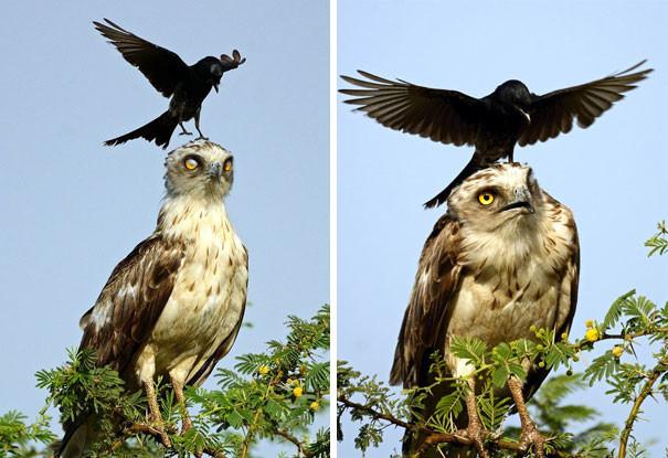 Ворона докучает орлу вороны, животные, птицы, фото