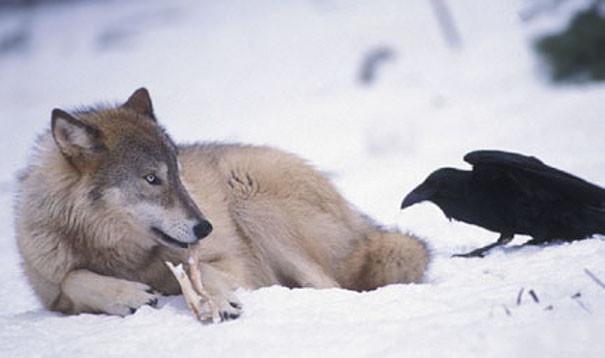 """""""Лежать, хороший мальчик. Дай-ка мне свою косточку"""" вороны, животные, птицы, фото"""