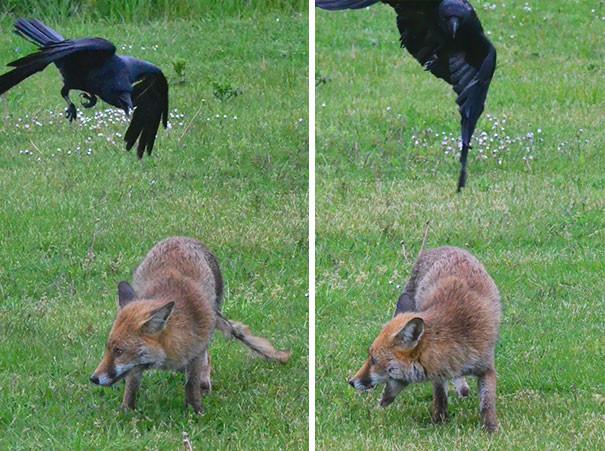 Процесс нападения вороны, животные, птицы, фото
