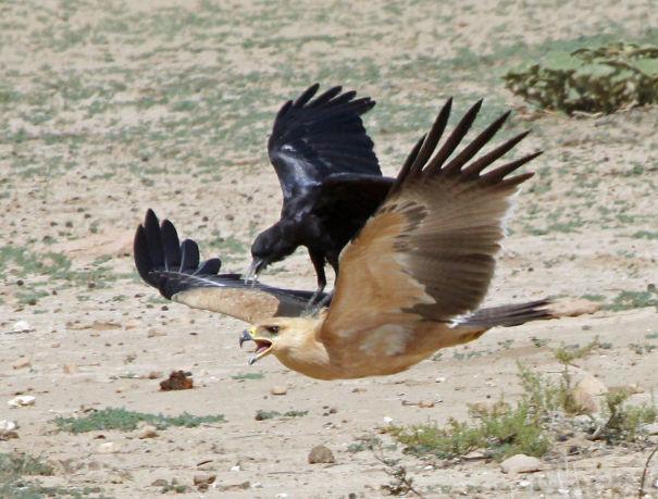 Ворона едет верхом на степном орле в Кгалагади вороны, животные, птицы, фото