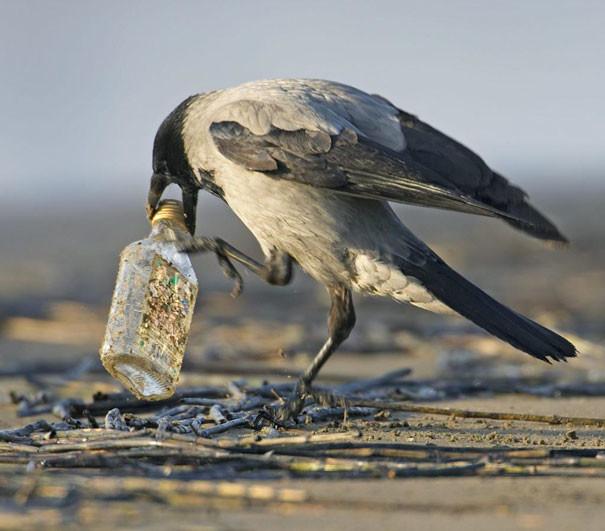 Они, кажется, еще и не против выпить вороны, животные, птицы, фото