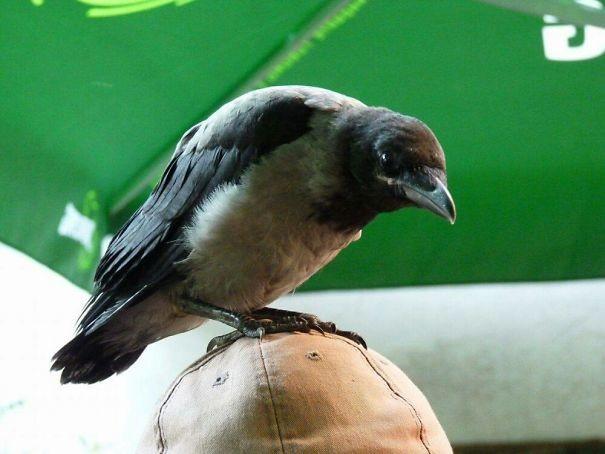 На высоте вороны, животные, птицы, фото