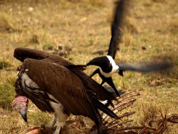 Надоедливое существо вороны, животные, птицы, фото