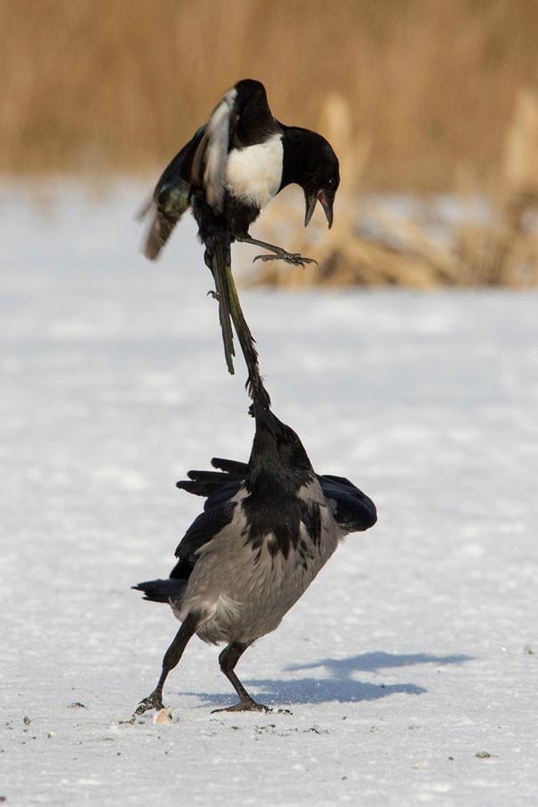 """""""Он такой задира"""" вороны, животные, птицы, фото"""