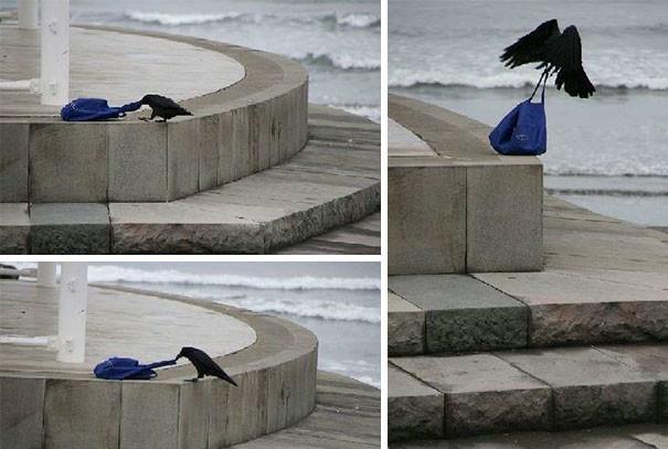 """""""Я обычная ворона. Если я вижу бесхозную сумку - я беру её."""" вороны, животные, птицы, фото"""