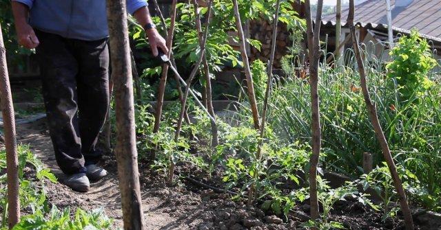Опрыскивание томатов от вредителей