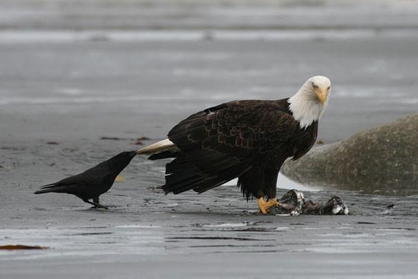 И хватает же у них смелости вороны, животные, птицы, фото